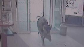 Vier Menschen verletzt: Aggressive Wildschweine attackieren Passanten in Heide