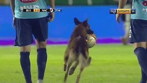 Tierisches Solo in bolivianischer Liga: Polizeihund rast minutenlang über das Spielfeld