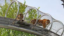 """Nicht """"wie im Gefängnis"""": Wie sieht der Zoo der Zukunft aus?"""
