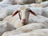 Hohe Trefferquote: Schafe erkennen Barack Obama auf Foto