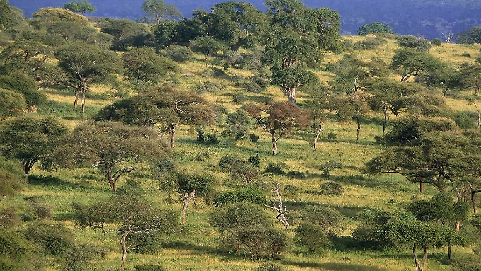 Kein Wald, sondern Savanne im Tarangire-Nationalpark in Tansania.