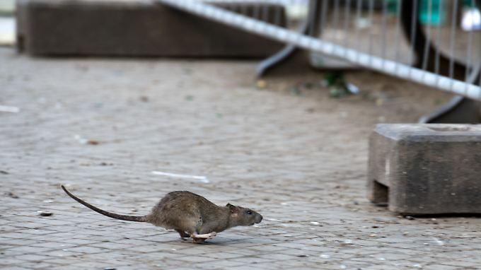 Nicht nur in Berlin laufen einem die Nager auch immer öfter tagsüber über den Weg.