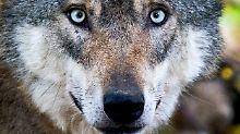 """Schießen oder schützen?: Wenn Wölfe zu """"Problemwölfen"""" werden"""