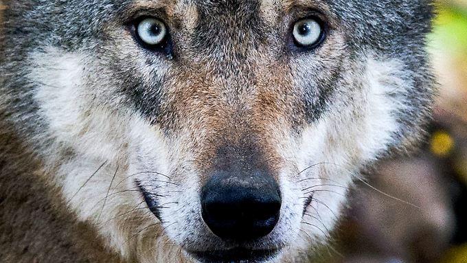 Schätzungen zufolge leben 650 Wölfe in Deutschland.
