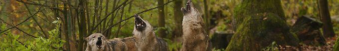 Der Tag: 11:24 Wölfe sind weiter auf dem Eroberungsfeldzug