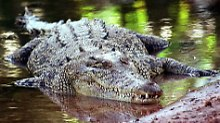 Krokodil-Attacke in Australien: Urlauberin filmt Reptilangriff auf sich selbst