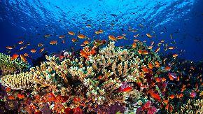 """""""Sex on the Reef"""": Forscher helfen Korallen bei der Fortpflanzung"""