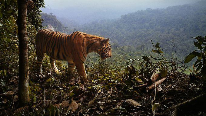 Ein Tiger überblickt sein Revier im Nationalpark Bukit Barisan Selatan auf Sumatra.