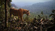 Zahl um 95 Prozent gesunken: Sumatra-Tiger kämpfen ums Überleben