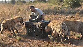 n-tv Dokumentation: Killer IQ - Löwen vs. Hyänen