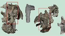 Fundsache, Nr. 1364: Fossilien eines Monster-Pinguins