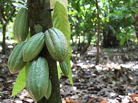 Unreife Kakaoschoten hängen in einer Plantage in der Nähe des Ortes Affiakounou im Süden der Elfenbeinküste an einem Baum.