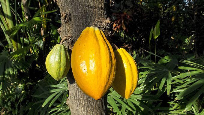 Kakaobohnen an einem Kakaobaum in einem tropischen Regenwald.