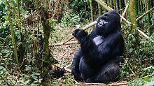 Beobachtungen in Ostafrika: Wo Reisende den Berggorillas ganz nah sind