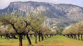 Teilweise sind die Mandelbäume sehr alt.