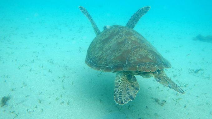 Bei Schildkröten bestimmt die Bruttemperatur, ob Männchen oder Weibchen schlüpfen.