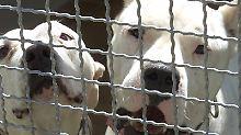 Aggressive argentinische Doggen: Kampfhunde greifen Besitzer an