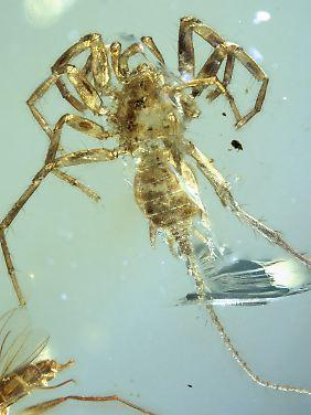 Die Spinne hat einen Schwanz und unterscheidet sich so von allen bekannten lebenden Spinnenarten.