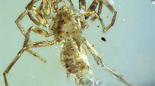 Fundsache, Nr. 1368: 100 Millionen Jahre alte Spinne mit Schwanz