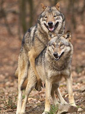 Hat sich ein Wolfspaar erst einmal gefunden, bleibt es normalerweise auch zusammen.