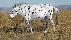 Ein geflecktes Botai-Pferd.