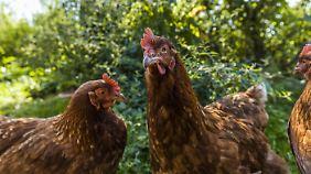Es gibt 6500 Geflügelhalter in Deutschland. Doch die wenigstens Hühner werden artgerecht aufgezogen.