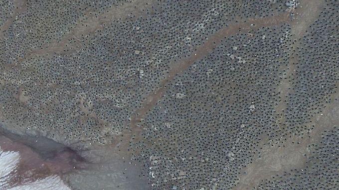 Luftaufnahme: Bisher ging man davon aus, dass die Zahl der Adeliepinguine schrumpft, doch auf den Danger-Inseln scheint das anders zu sein.