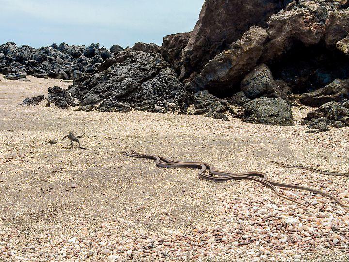 Filmpremiere: Treibjagd von Galapagos-Racern auf Baby-Meerechse.