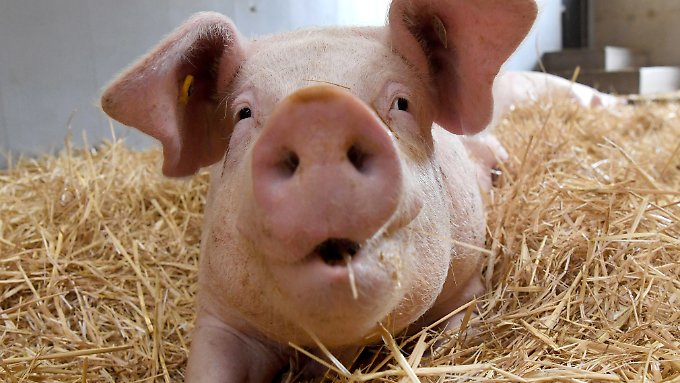 Viel Platz und frisches Stroh: Davon können Schweine in Massenhaltung nur träumen.