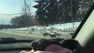 Kaum zu glauben, aber wahr: Husky-Schlitten liefert sich Wettrennen auf Highway