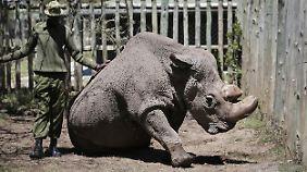 Unterart de facto ausgestorben: Breitmaulnashorn Sudan ist tot