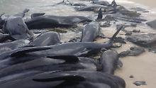 Vorsorglich Hai-Alarm ausgelöst: Rund 150 Wale stranden an Australiens Küste
