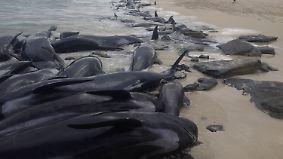 Australien löst Hai-Alarm aus: Fischer entdecken über 150 gestrandete Wale