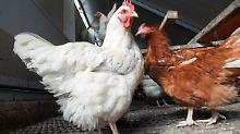 Umso mehr Platz diese Hühner bekommen, desto eher erhalten sie ein positives Tierwohl-Label.