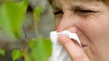 Frühling lässt Allergiker leiden: Birkenpollen fliegen bald massenhaft