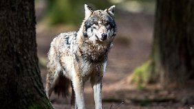 Erschießen oder schützen?: Umweltausschuss berät über das Schicksal der Wölfe