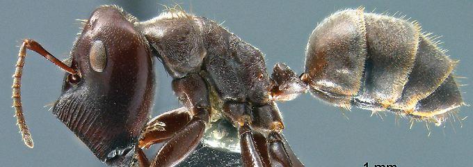 Tier sprengt sich selbst: Kamikaze-Ameise auf Borneo entdeckt
