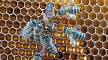 Zum Schutz der Bienen: EU verbietet drei Insektengifte im Freiland
