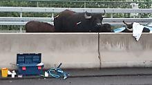 Verkehrschaos auf der A3: Wasserbüffel sorgen für Vollsperrung