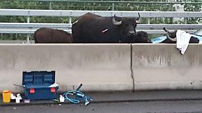 Unwetter und eine tierische Panne: Ausgebüxte Wasserbüffel richten Verkehrschaos an