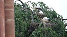 Im französischen Munster ist die Storch-Population in den vergangenen Jahren stark gewachsen. Das bringt auch Probleme mit sich.