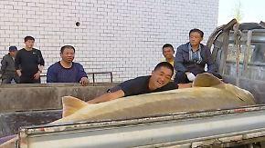 Kaum zu glauben, aber wahr: Fischern geht 3,60 Meter langer Kaluga-Stör ins Netz