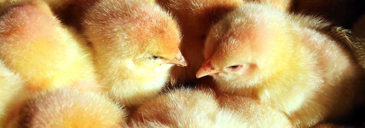 Für die Eier- und Fleischproduktion werden männliche Küken nicht gebraucht.