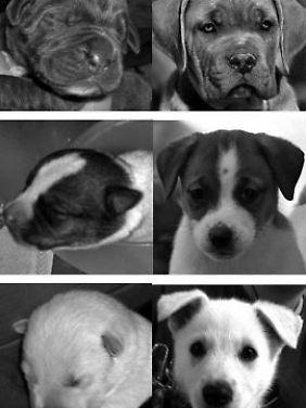 Die Fotos zeigen die drei Hunderassen in drei verschiedenen Altern. In der Mitte sind die abgebildet, die als am niedlichsten bewertet worden waren.