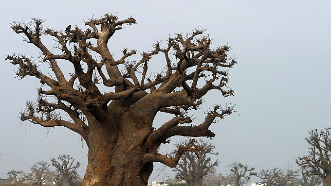 Ein Affenbrotbaum in Afrika.
