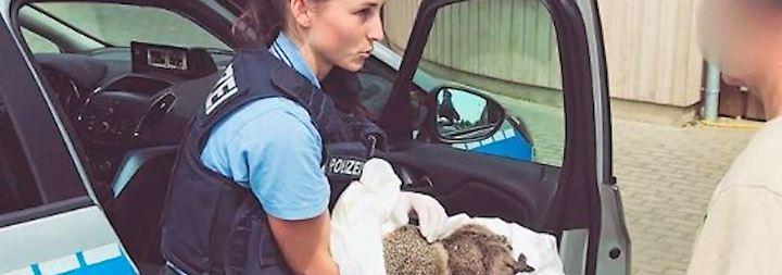 """Tiere mit """"verschwommener Erinnerung"""": Polizei zieht betrunkene Igel aus dem Verkehr"""