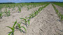 Getreide ist schon notreif: Bauern befürchten Einbußen durch Dürre