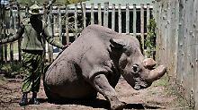 Der letzte Nashorn-Bulle Sudan starb im März.