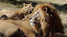 Menschliche Überreste gefunden: Löwen zerfleischen Nashorn-Wilderer