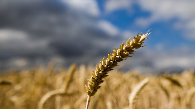 Nach anhaltender Dürre kommt nun endlich Regen. Ob sich die Landwirte darüber noch freuen können ...